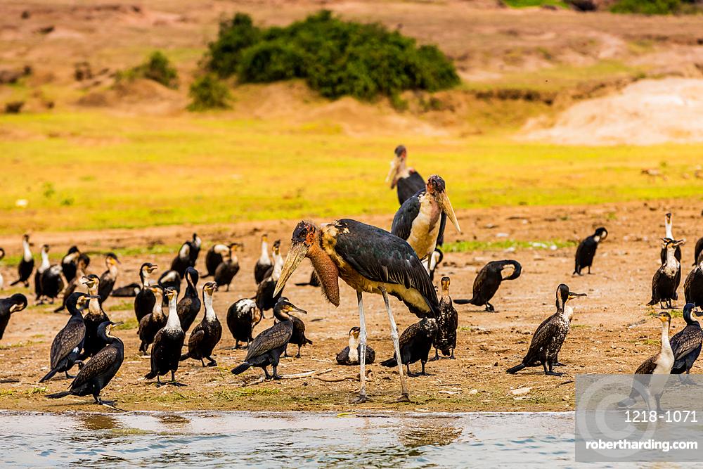 Wild birds in Queen Elizabeth National Park, Uganda, East Africa, Africa