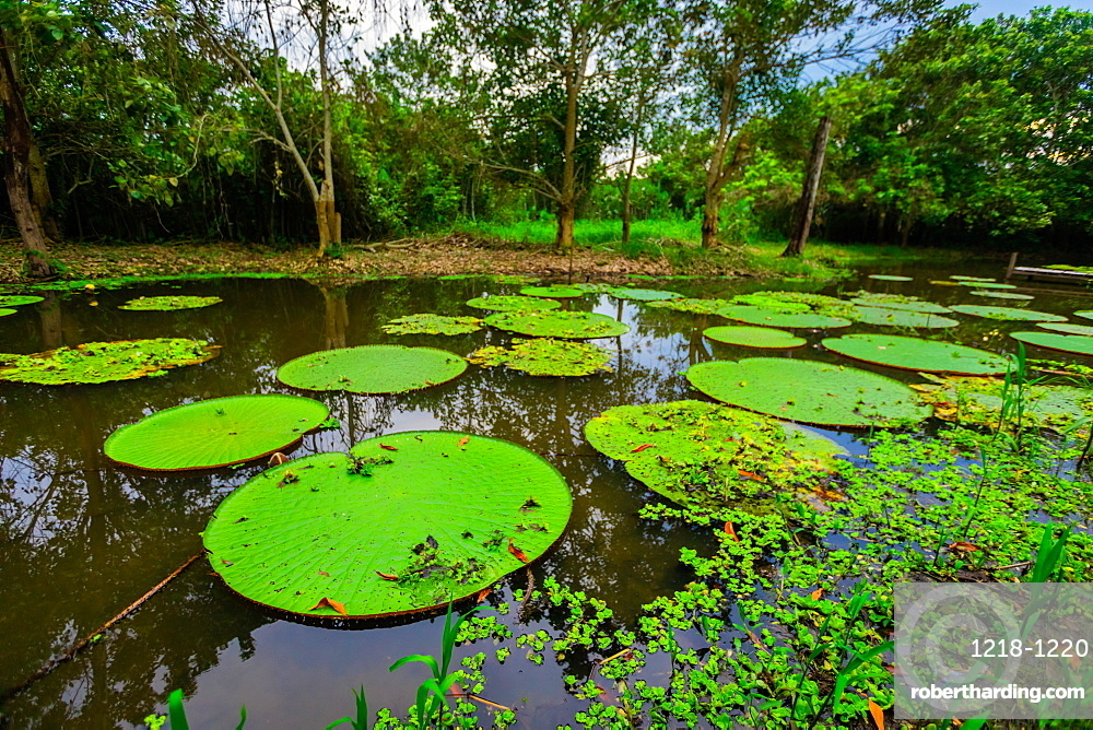 Famous Giant Lily Pads, Amazon River, Peru, South America