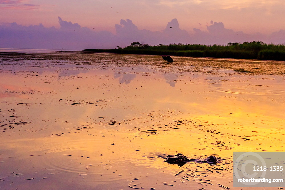 Alligator Alley is home to so many alligators that it's impossible to not spot one, Louisiana, United States of America, North America