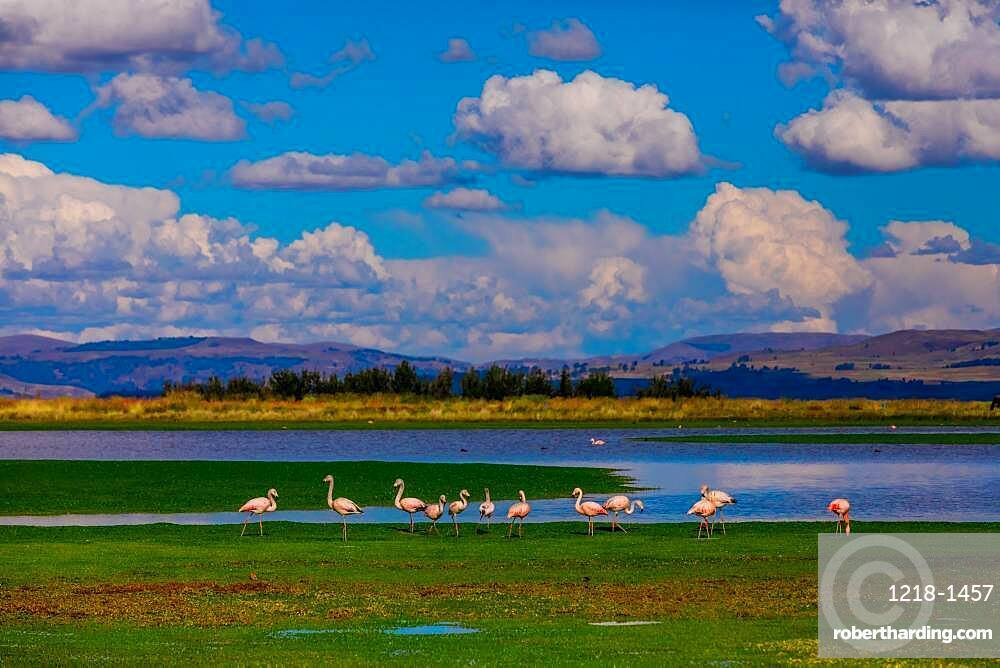 Flamingos grazing by lake.