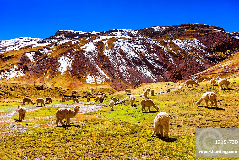 Llamas in the Andes, Peru, South America