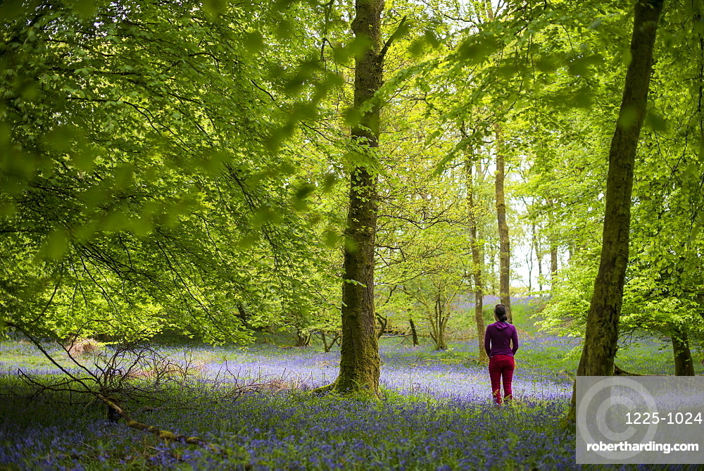 A woman explores the forest floor of Jeffy Knotts Woods covered in bluebells, Lake District National Park, Cumbria, England, United Kingdom, Europe