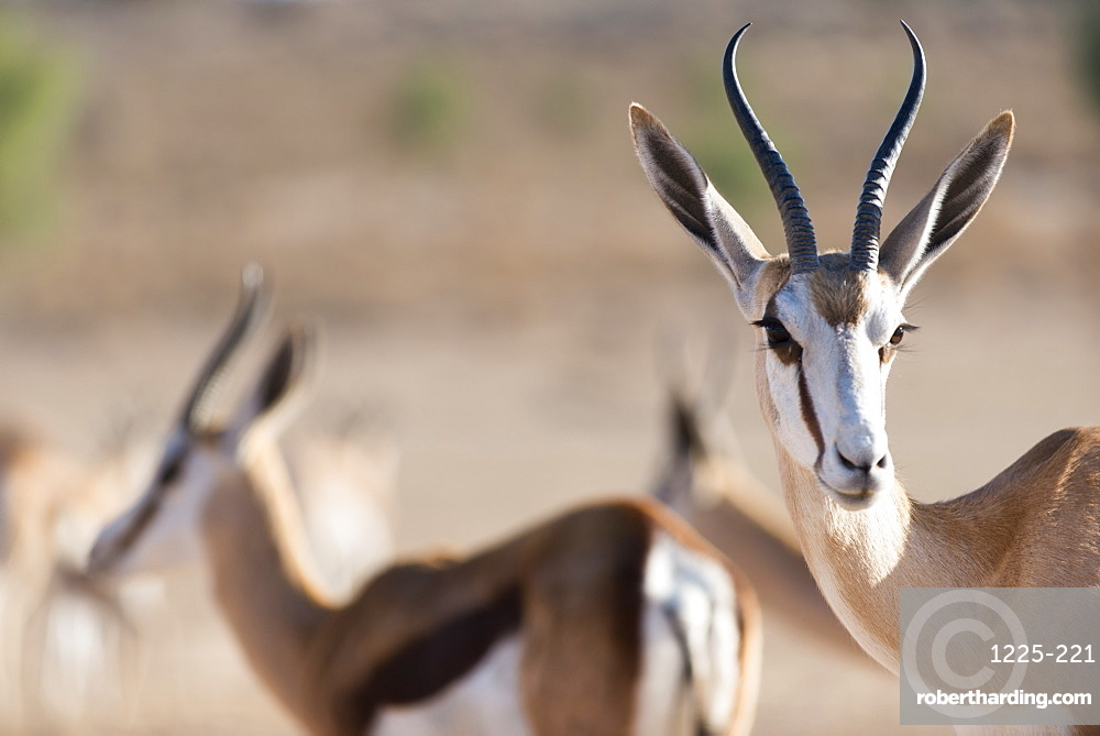 Springboks in the Kgalagadi Transfrontier Park, South Africa, Africa