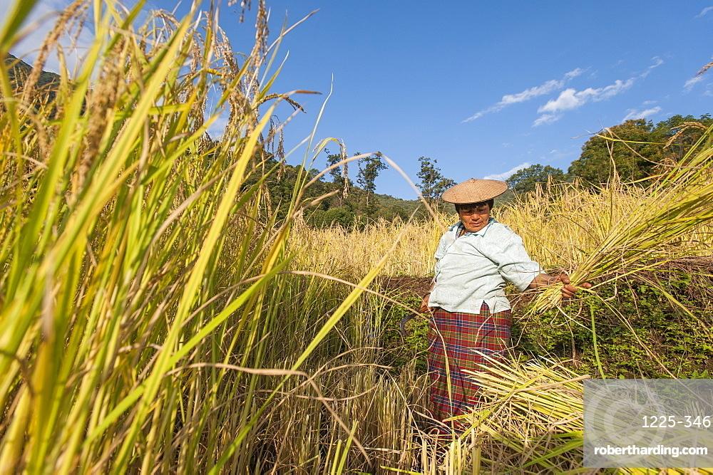 A woman harvests rice in east Bhutan near Mongar, Bhutan, Asia