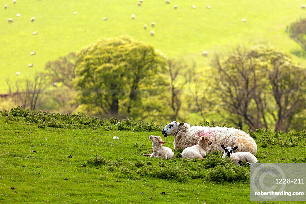 A Swaledale Ewe with lambs at Danby, The North Yorkshire Moors, UK.