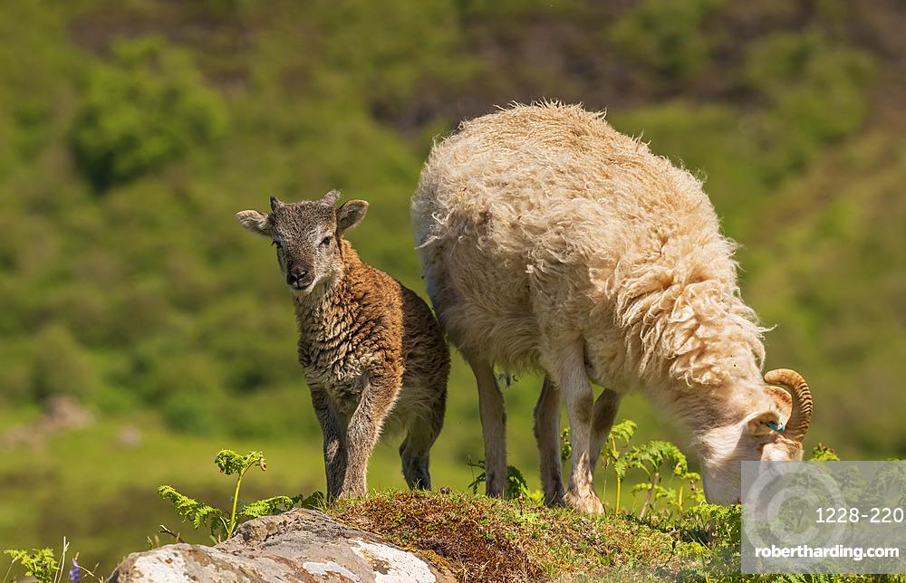 A Soay Hebridean Ewe and lamb at Cleadale crofting community, Isle of Eigg, Small Isles, Inner Hebrides, Scotland, United Kingdom, Europe