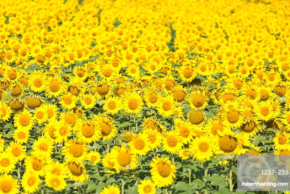 Sunflower field in Burgenland, Austria, Europe