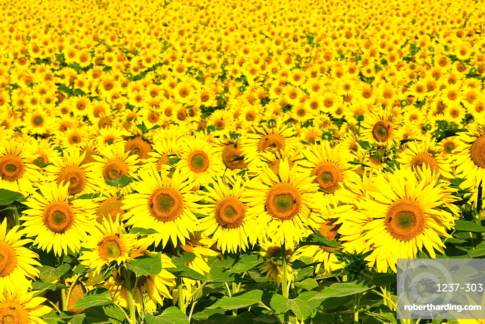 Sunflowers, Austria, Europe.