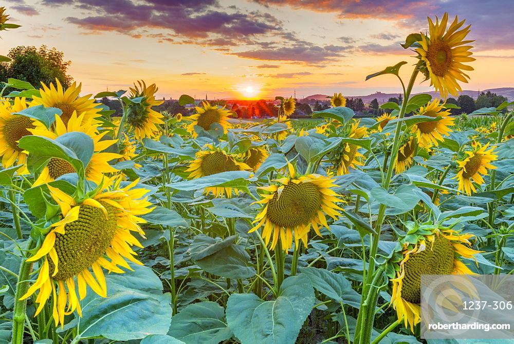 Sunflowers at sunset, Austria, Europe