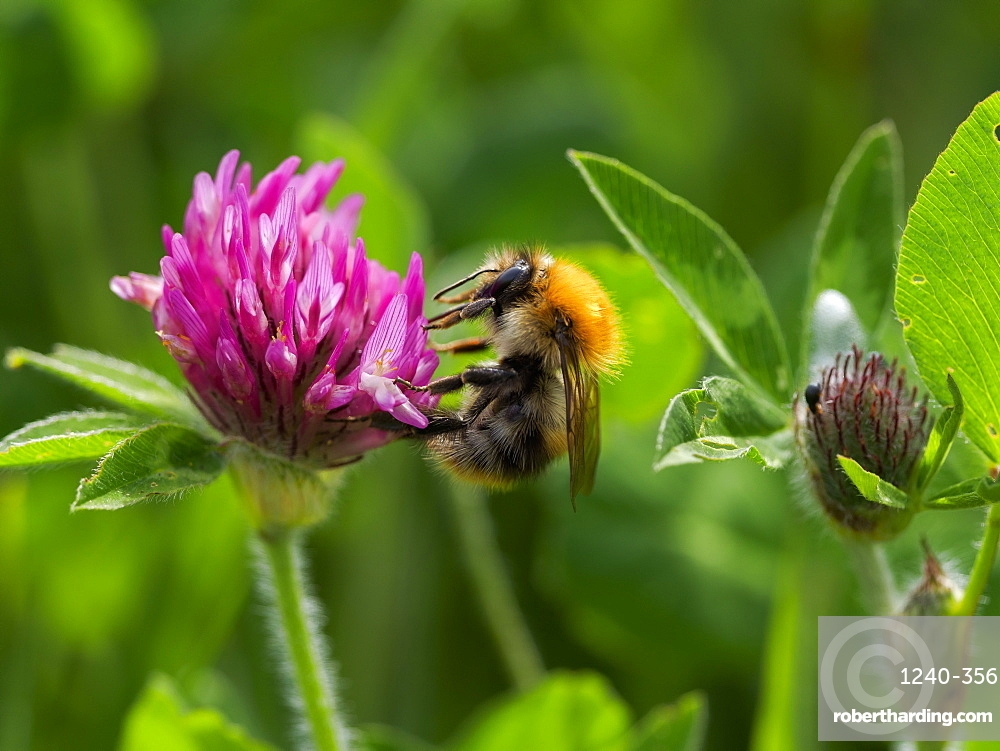 Common Carder Bee, County Clare, Munster, Republic of Ireland, Europe