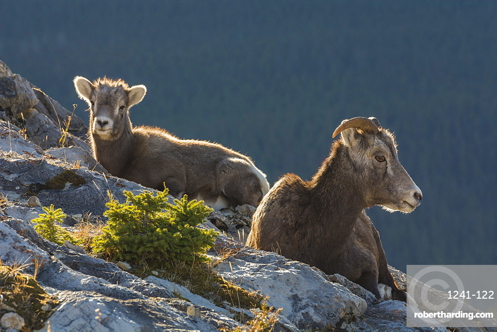 Rocky Mountain Bighorn Sheep ewe and lamb (Ovis canadensis), Jasper National Park, UNESCO World Heritage Site, Alberta, Canada, North America