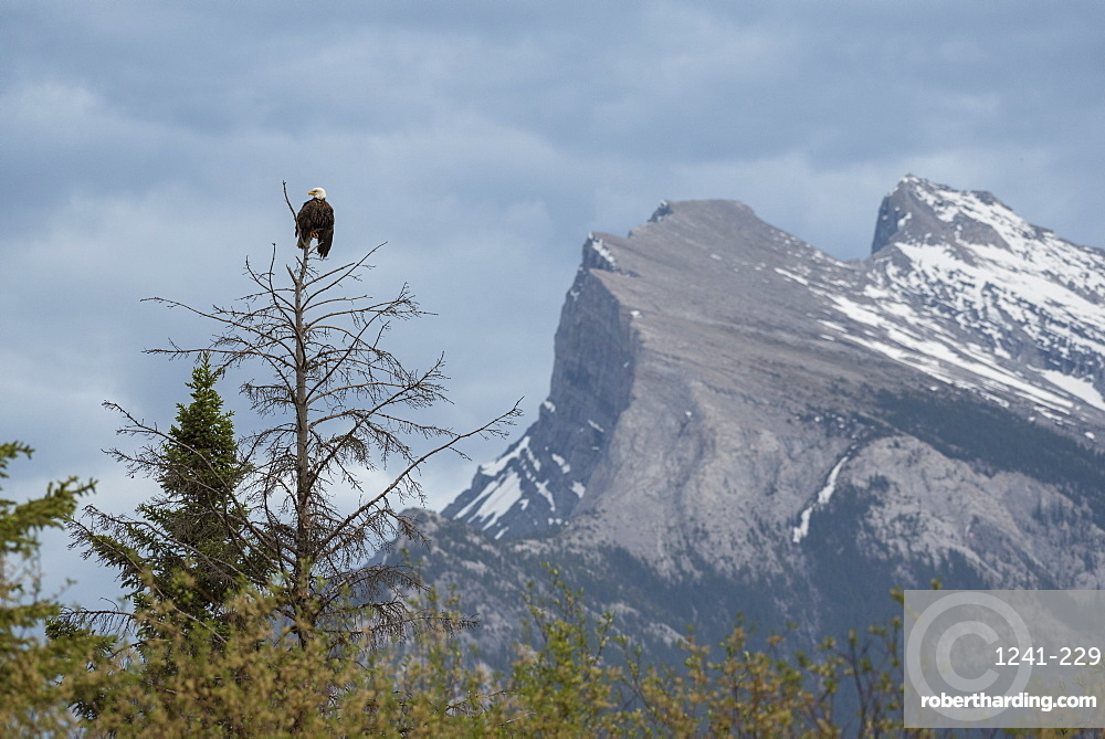 Bald Eagle with Mount Rundle in the background, Banff National Park, UNESCO World Heritage Site, Alberta, Canadian Rockies, Canada, North America