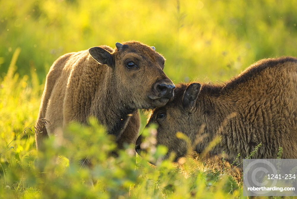 Bison calves (plains bison) in a prairie meadow at sunset, Elk Island National Park, Alberta, Canada, North America