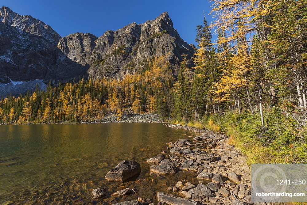 Arnica Lake in autumn with Larch trees and Mountains, Banff National Park, UNESCO World Heritage Site, Alberta, Canadian Rockies, Canada, North America