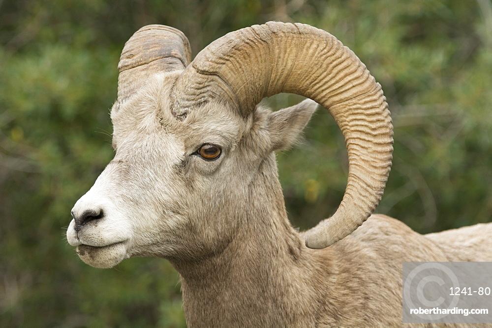 Close up of a wild Rocky Mountain Bighorn Sheep (Ovis canadensis), Jasper National Park, Canada, North America