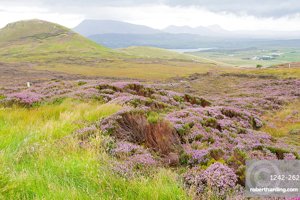 Heather-filled fields near Dunfanaghy, County Donegal, Ulster, Republic of Ireland, Europe