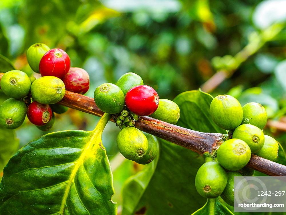 Ripe and unripe coffee berries on a bush, Hacienda Guayabal, near Manizales, Coffee Region, Colombia, South America