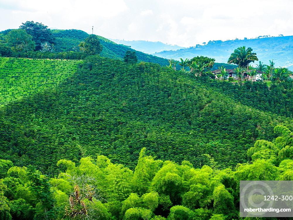 Hillside of coffee plants, Hacienda Guayabal, near Manizales, Coffee Region, Colombia, South America