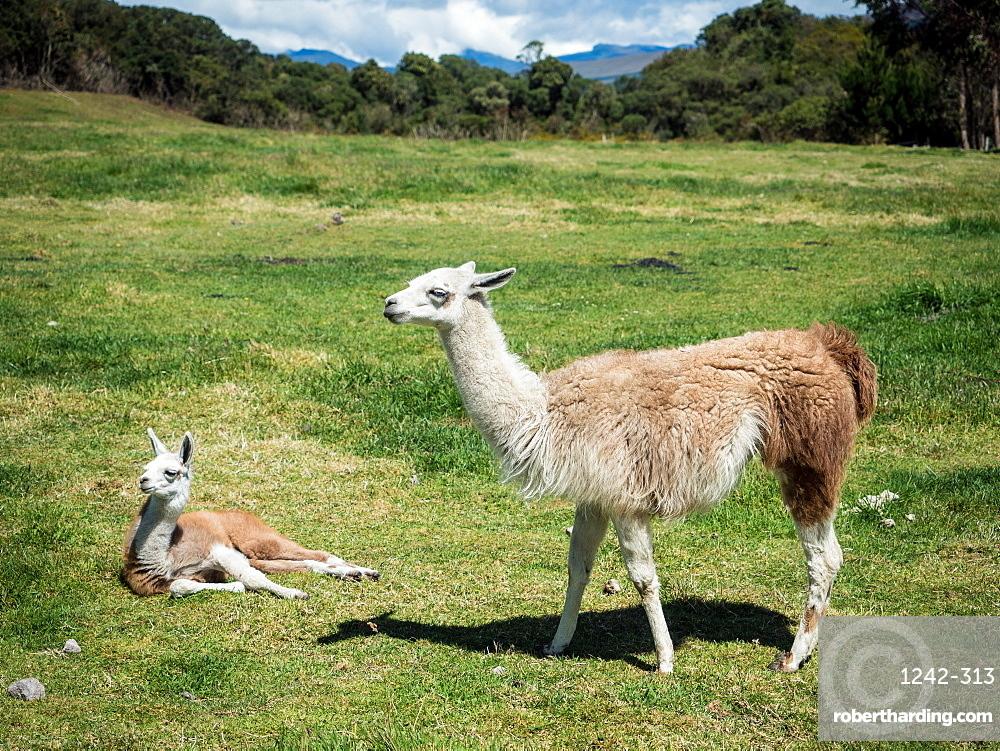 Llamas, Cotopaxi region, Andes mountains, Ecuador, South America