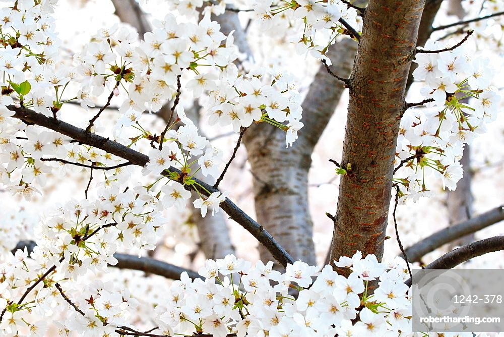 Cherry blossoms, Washington, DC, United States