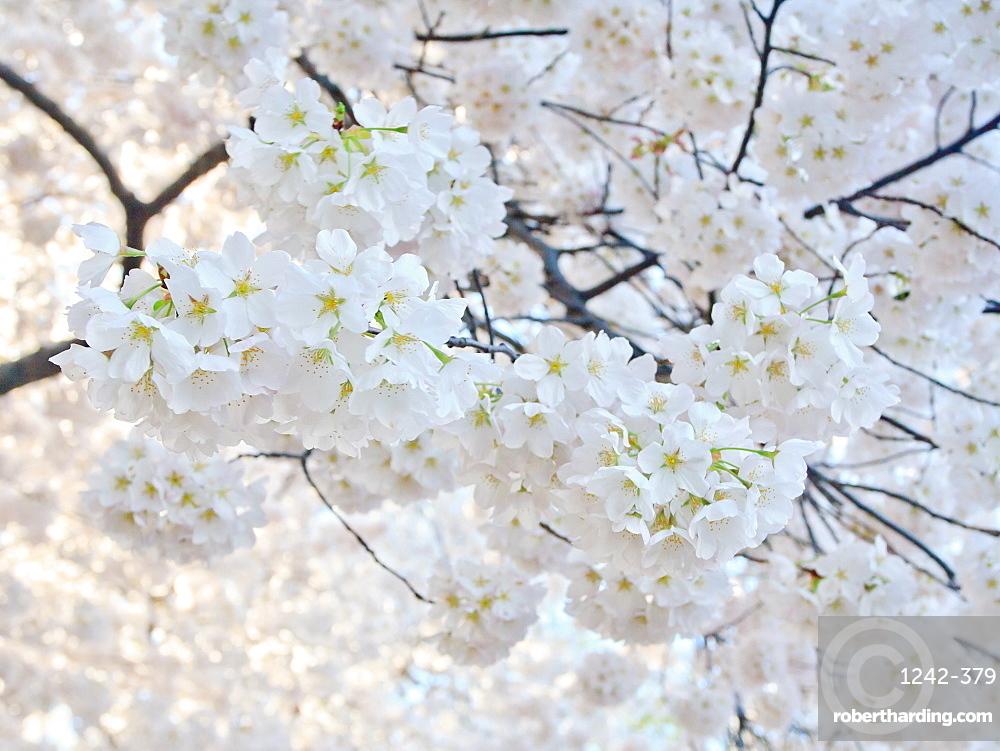 Cherry blossoms, Washington, DC, United States of America, North America