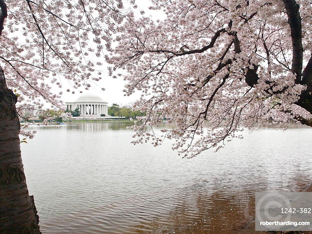 Cherry blossoms, Tidal Basin, and Jefferson Memorial, Washington, DC, United States of America, North America