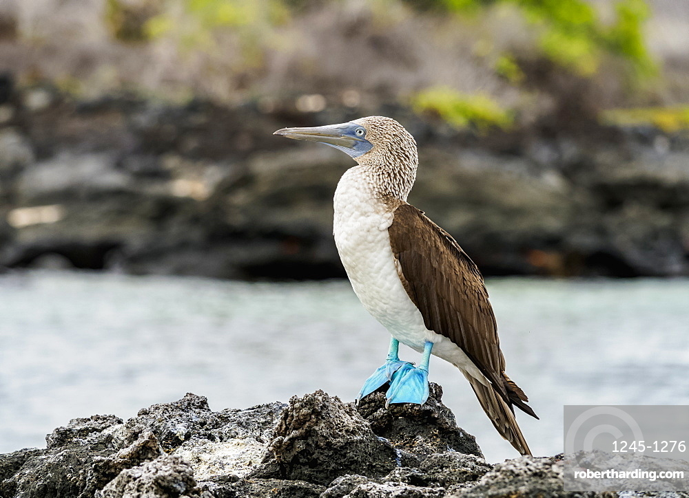 Blue-footed booby (Sula nebouxii) on the rocky coast by the Bachas Beach, Santa Cruz (Indefatigable) Island, Galapagos, UNESCO World Heritage Site, Ecuador, South America