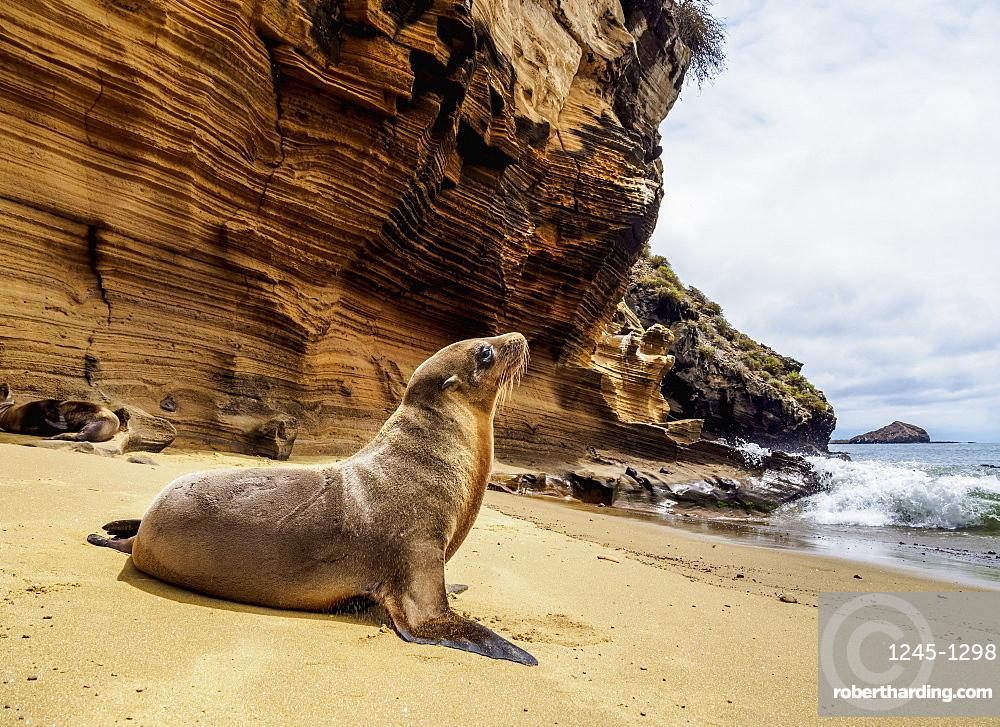 Sea Lion (Zalophus wollebaeki) on the beach at Punta Pitt, San Cristobal (Chatham) Island, Galapagos, UNESCO World Heritage Site, Ecuador, South America