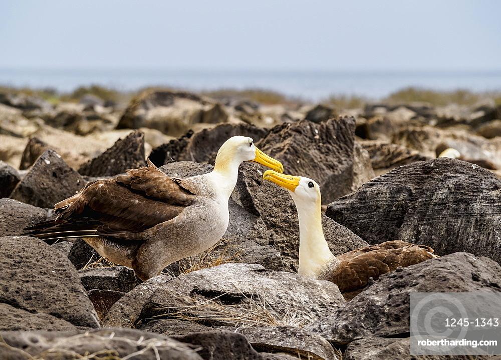 Waved albatross (Phoebastria irrorata), Punta Suarez, Espanola (Hood) Island, Galapagos, UNESCO World Heritage Site, Ecuador, South America
