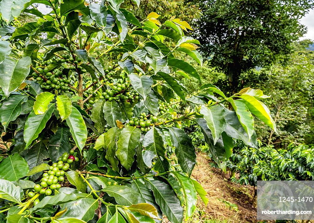 Coffee Plantation, Salento, Quindio Department, Colombia, South America