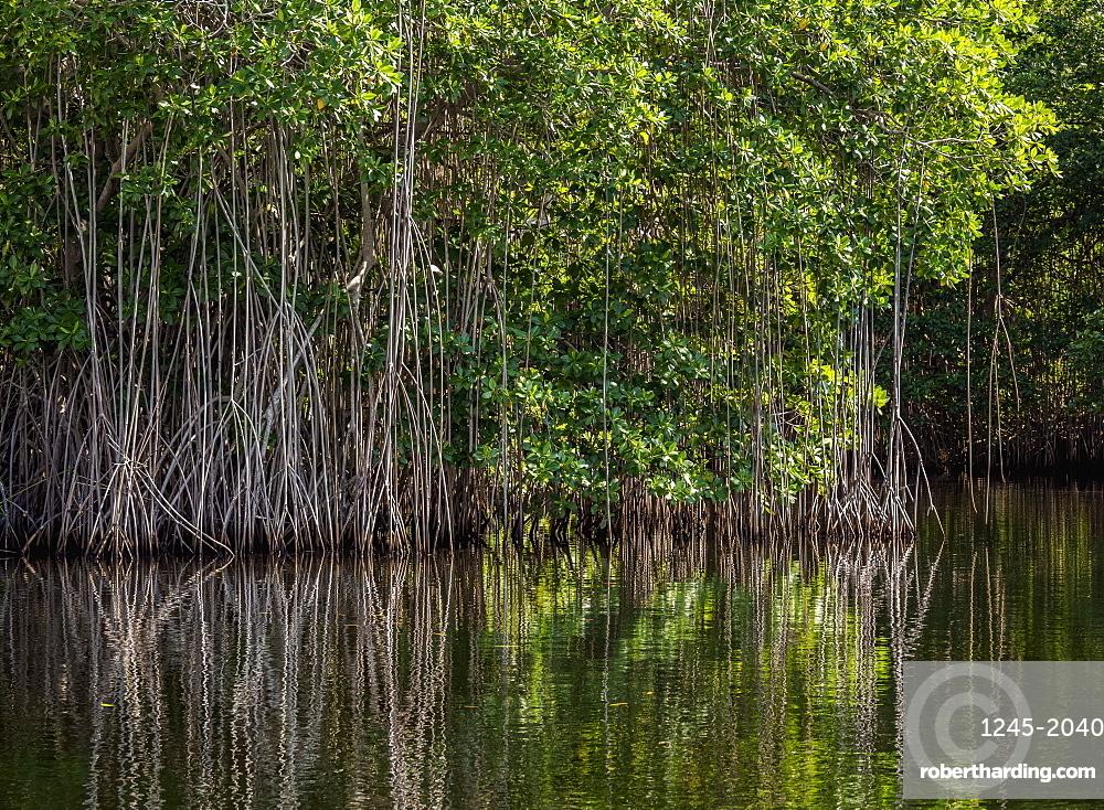 Mangrove Forest seen during Black River Safari, Saint Elizabeth Parish, Jamaica