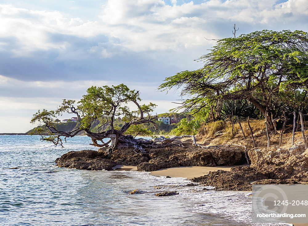 Lone Tree by the Jack Sprat Beach, Treasure Beach, Saint Elizabeth Parish, Jamaica