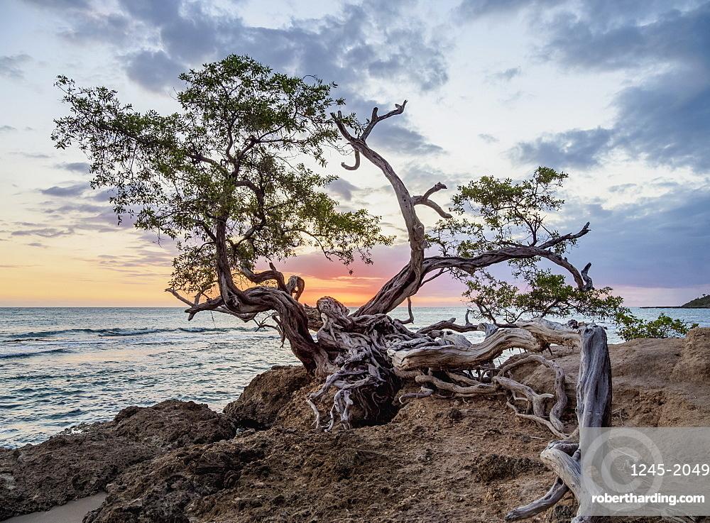 Lone Tree by the Jack Sprat Beach at sunset, Treasure Beach, Saint Elizabeth Parish, Jamaica