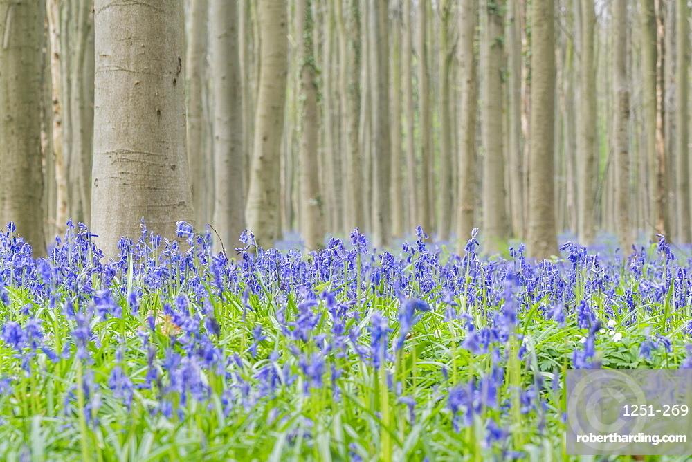 Beechwood with bluebell flowers on the ground, Halle, Flemish Brabant province, Flemish region, Belgium, Europe