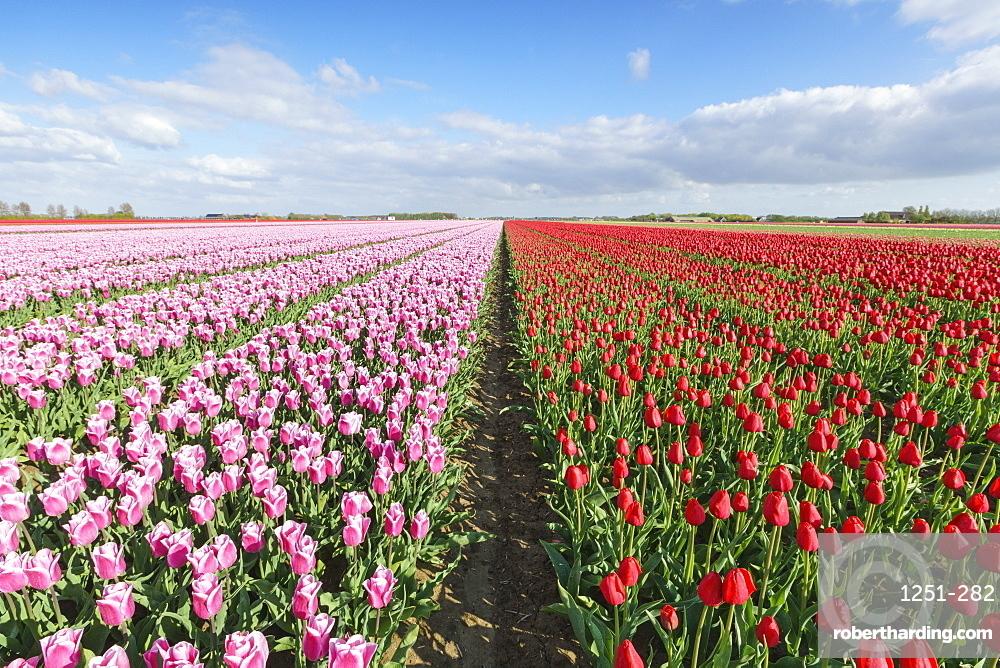 Pink and red tulips in vast field, Yersekendam, Zeeland province, Netherlands, Europe