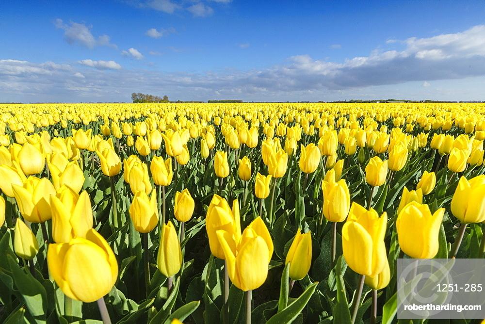 Yellow tulips in a field, Yersekendam, Zeeland province, Netherlands, Europe