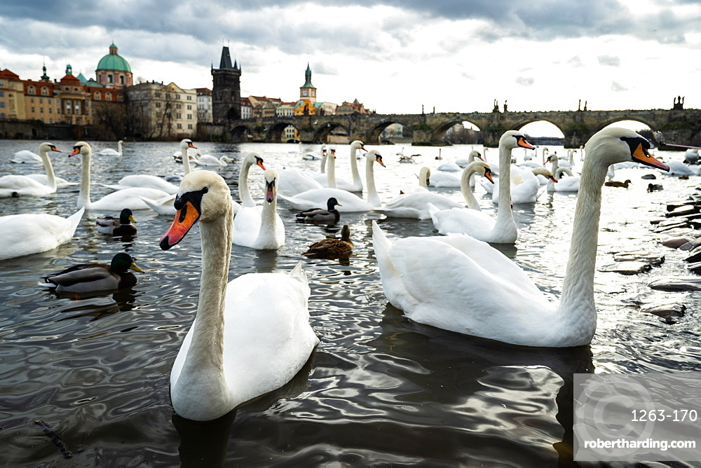 Swans gather on the banks of the Vltava river with Charles Bridge in the background.
