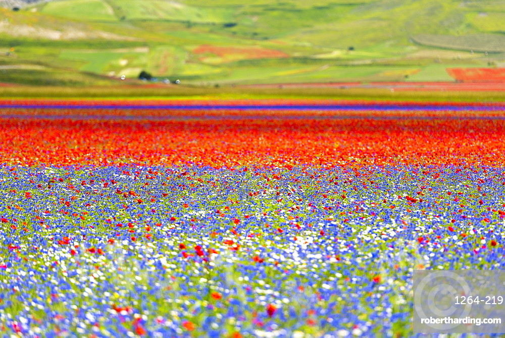 Flowers blooming on plateau Piano Grande, Sibillini National Park, Umbria, Italy, Europe