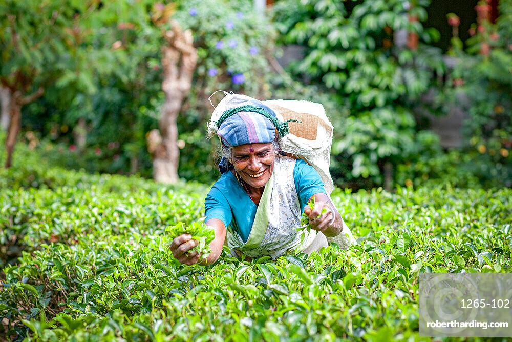 Tea picker woman working on tea plantations near Maskeliya in the Central Province of Sri Lanka, Asia