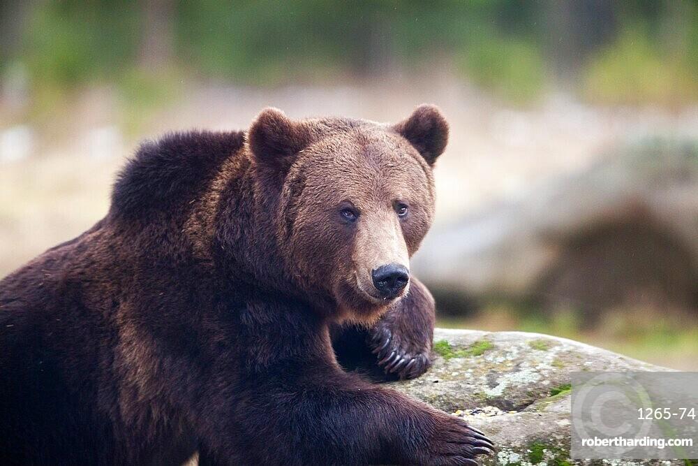 Brown bear portrait in the wilderness, Carpathian mountains, Romania, Europe
