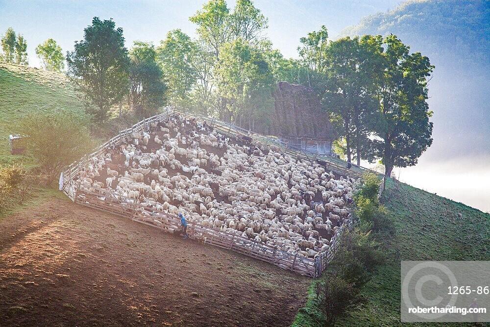 Rural landscape with flock of sheep in Dumesti, Apuseni mountains, Romania, Europe