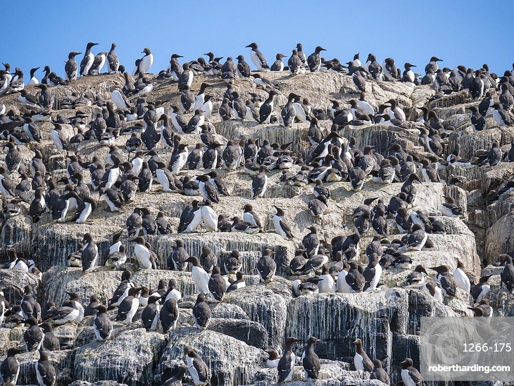 Colony of Common Guillemots (Uria aalge) at Inner Farne Island, Farne Islands, Northumberland, England, United Kingdom, Europe