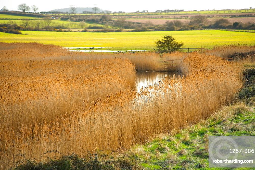 Golden reeds on wetlands off Norfolk Coast Path National Trail near Burnham Overy Staithe, Norfolk, East Anglia, England, United Kingdom, Europe