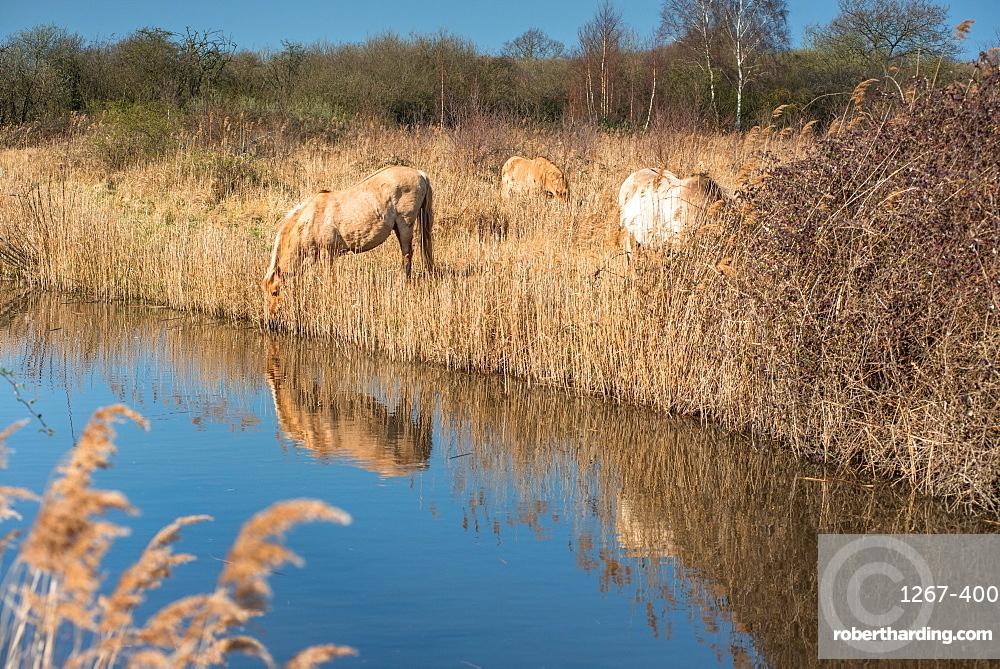 Wild Konik horses at the riverbank of Monks Lode on Wicken Fen, Wicken, near Ely, Cambridgeshire, England, United Kingdom, Europe
