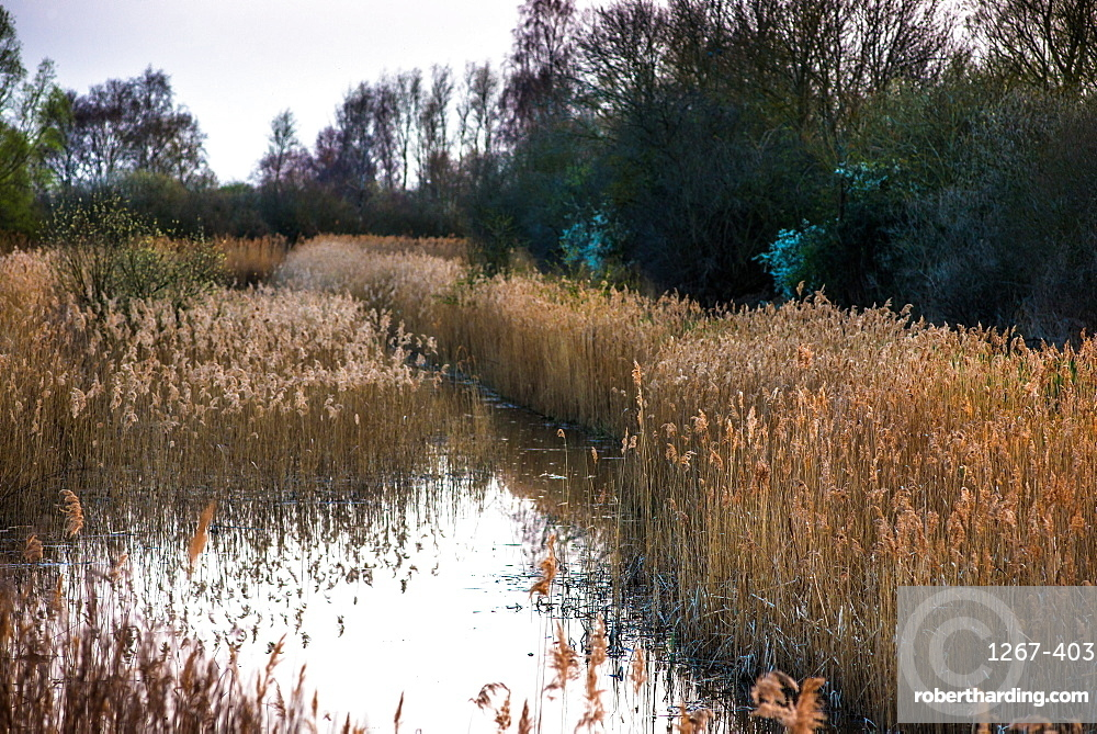 The warm evening sun hits reed beds at Wicken Fen Nature Reserve in Cambridgeshire, East Anglia, England, United Kingdom, Europe