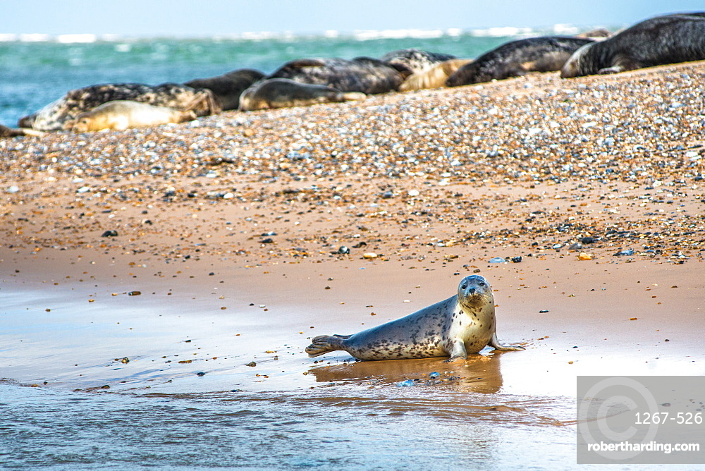 Grey seals and Common (Harbour) seals (Phoca vitulina) on beach at Blakeney Point, Norfolk, England, United Kingdom, Europe