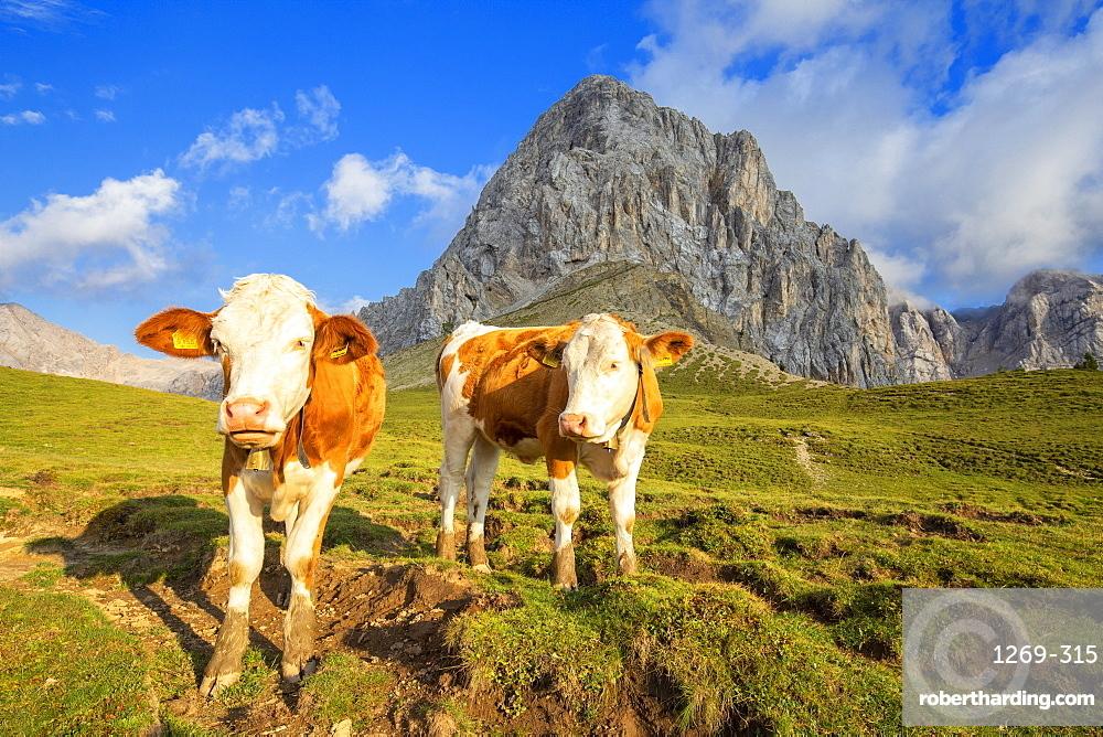 Grazing cows at San Nicolo Pass, Fassa Valley, Trentino, Dolomites, Italy, Europe
