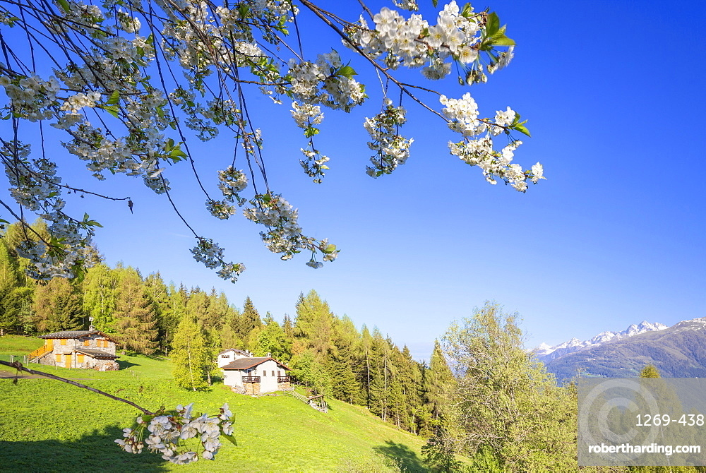 Floweing cherry tree at Pian di Gembro, Aprica, Orobie Alps, Valtellina, Lombardy, Italy, Europe