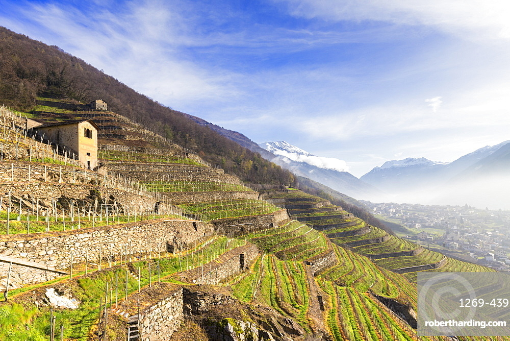 Sunlight in the vineyards in spring, Bianzone, Valtellina, Lombardy, Italy, Europe