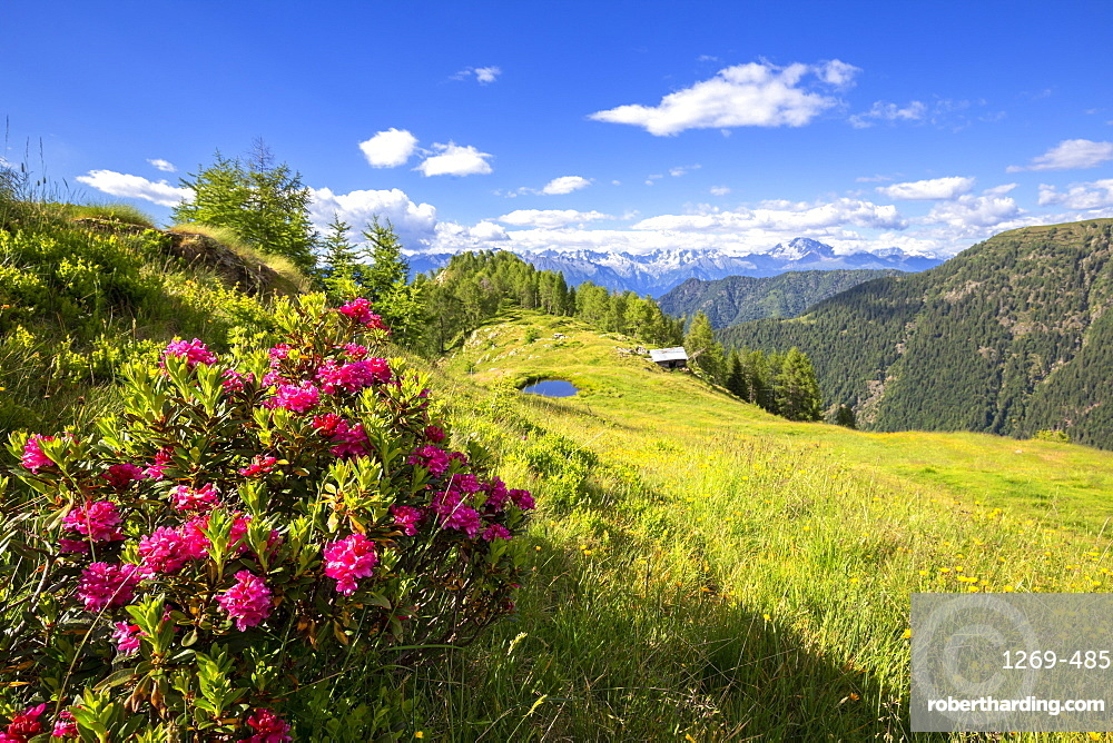 Flowering rhododendrons with a hut and a pond in the background, Valgerola, Orobie Alps, Valtellina, Lombardy, Italy, Europe